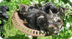kittens_in_bird_bath_may_19_2009