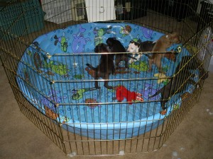 puppy_play_pen_090609