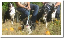 four_border_collies2_sept_27_2009
