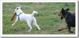 white_dog_quinton_play2_nov_8_2009