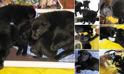 View Black Lab Mix puppies
