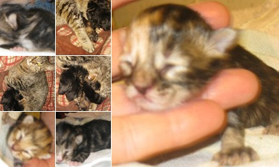 View Secoras kittens one day old