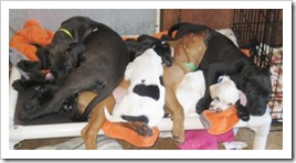 puppy_pile_on_kuranda_bed_feb_18_2010sm