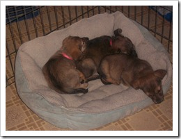 Puppies 039