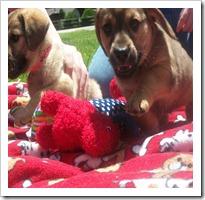 Puppies 049