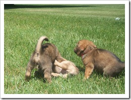 Puppies 052