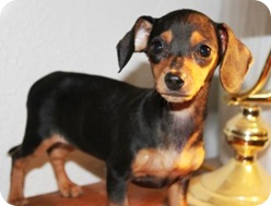 doxie2_pup_june_8_2010