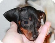 doxie_pup_in_hand_june_8_2010