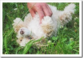maurice_poodle_pups_june_1_2010sm
