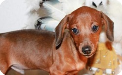 rusty6_doxie_pup_june_8_2010