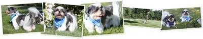 View Lucky the shih tzu August 2010