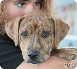 brindle_pup4_aug_28_2010