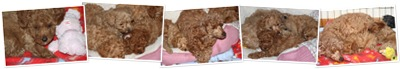 View Poodle Pups January 6 2011