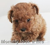 female_one_poodle_pup_01_09_2011