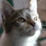 dsh_d_kitten2_december_1_2011