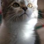 dsh_d_kitten5_december_1_2011