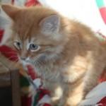orange_kitty_december_1_2011