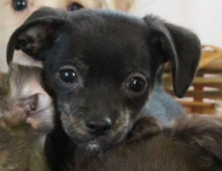 Snickers A Male Chihuahua Mix Puppy Connecting You With A Friend