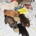 december_21_2012 puppies eating 001