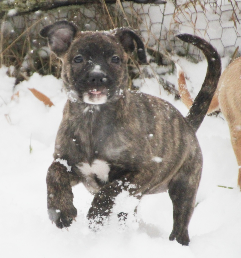 Ginger: A brindle pit bull puppy mix | Connecting you with a