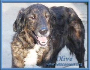 collie_aussie_mixes_April_17_2015 (24)psABolive