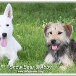 snow_bear_abby_july_6_2016 (4)ps
