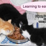 kittens_first_meal_august_6_2017 (2)ps